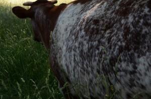 cowbig